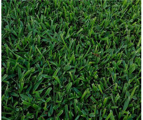Prestige Buffalo Prestige Buffalo Turf Prestige Grass
